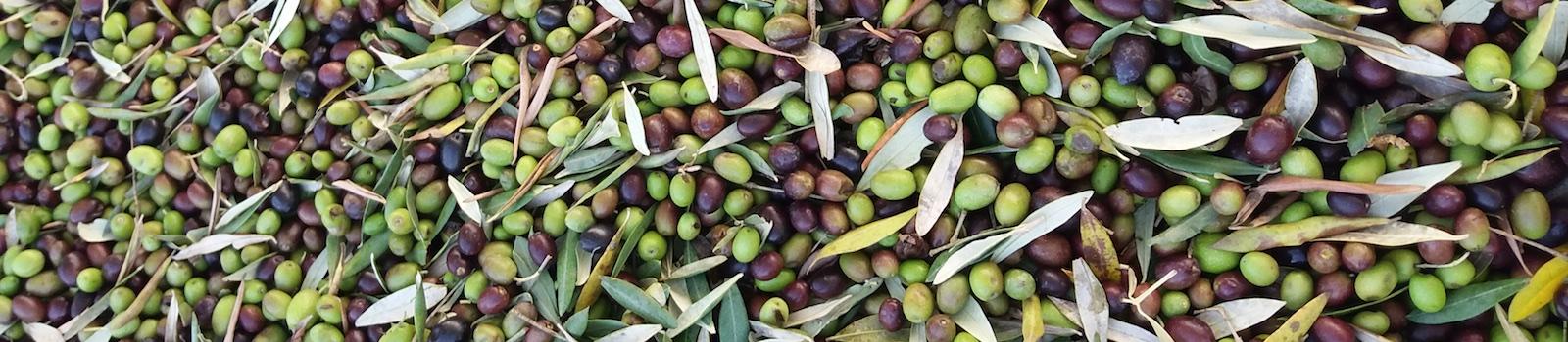 Olio biologico Toscano dalle nostre olive